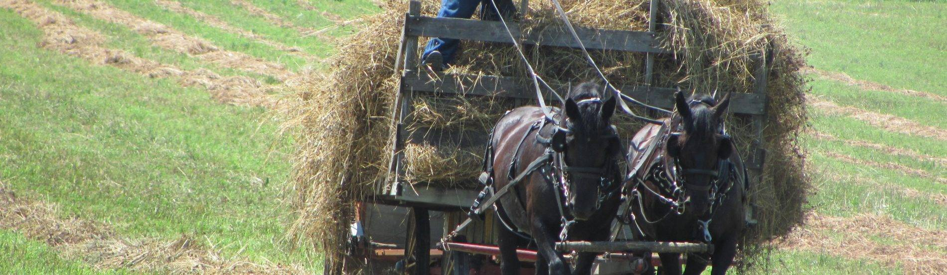 Bringing in hay on a warm day.