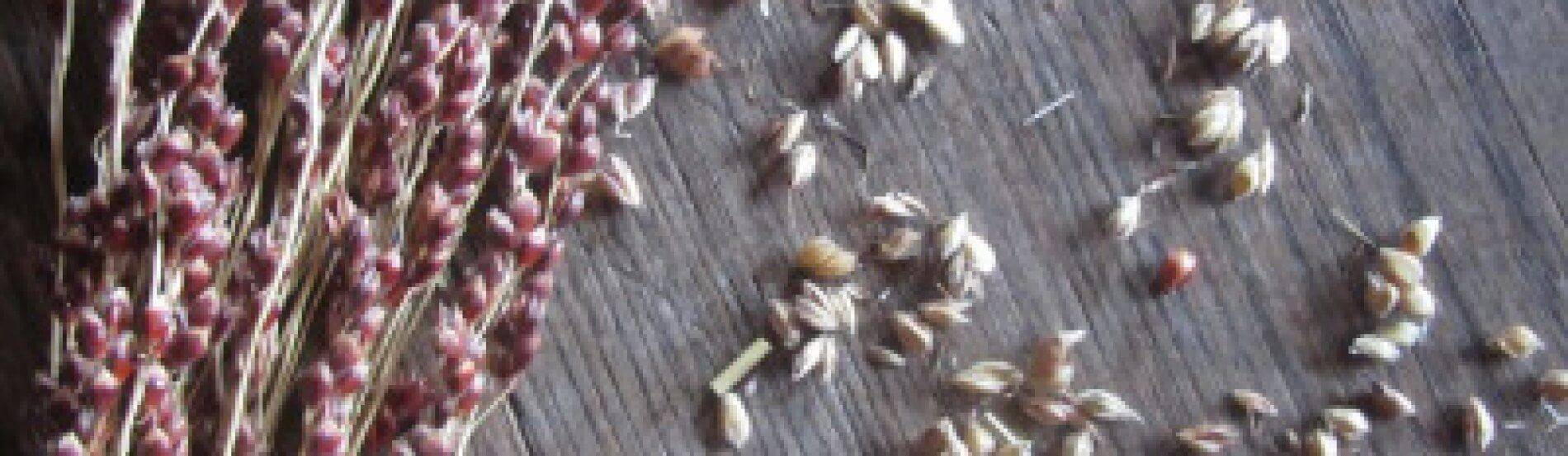 broomcorn seeds