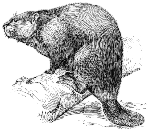 beaver illustration