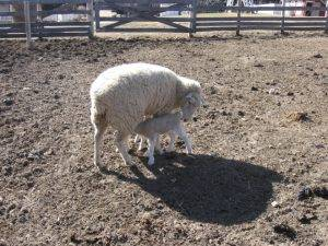lamb feeding from mom