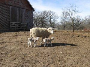 lambs and their mother