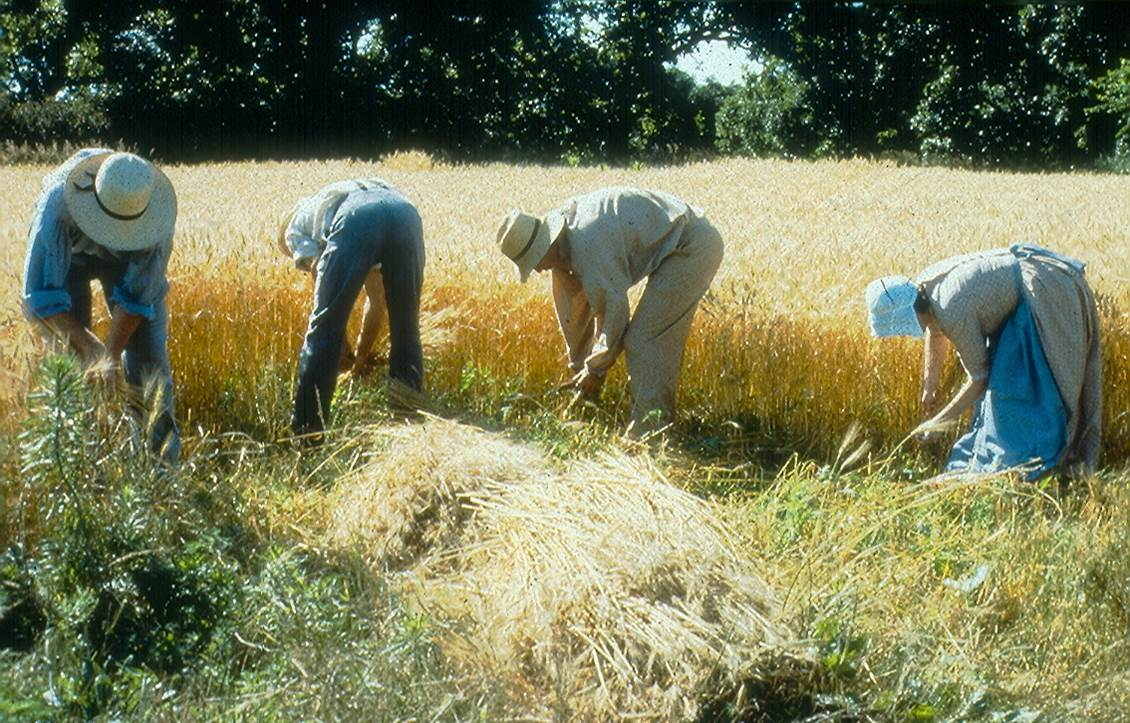 Threshing the Grain