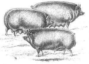 berkshire hog illustration