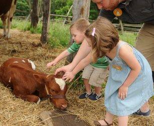 visitors petting a calf at pioneer farm