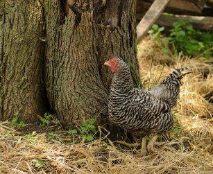 chicken standing by a tree