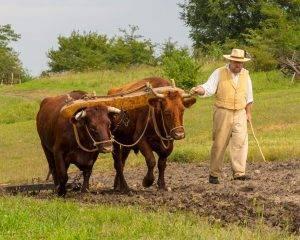 historic interpreter walks beside oxen in plowed field