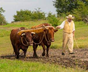 historic interpreter walks beside oxen in plowed field
