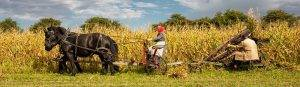farmers and horses harvest corn crop