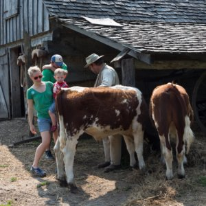 visitors interact with oxen at the pioneer farm