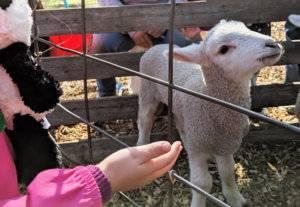 child's hand reaching to pet lamb