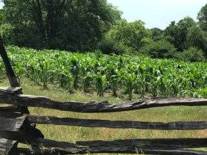 corn in 1850 field