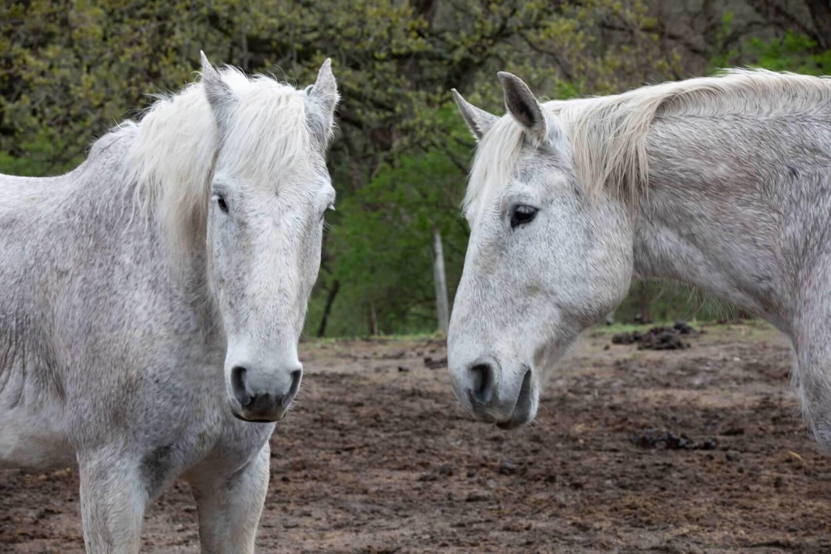 horses in mud